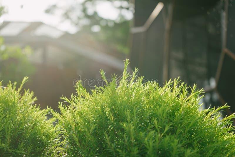 De boom van Melaleucabracteata stock fotografie