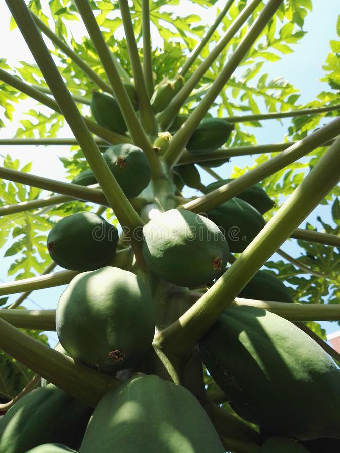 De boom van de papaja stock fotografie