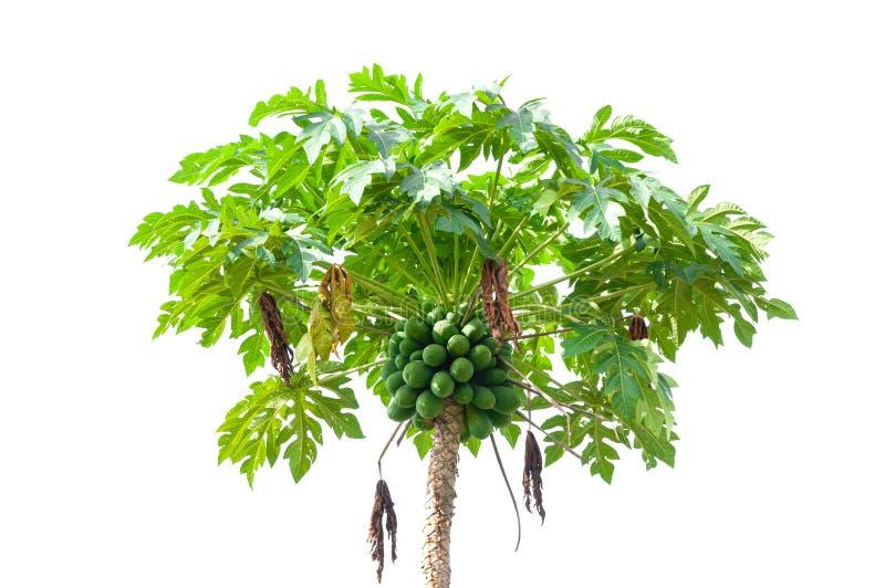 De boom van de papaja op wit wordt geïsoleerd royalty-vrije stock fotografie