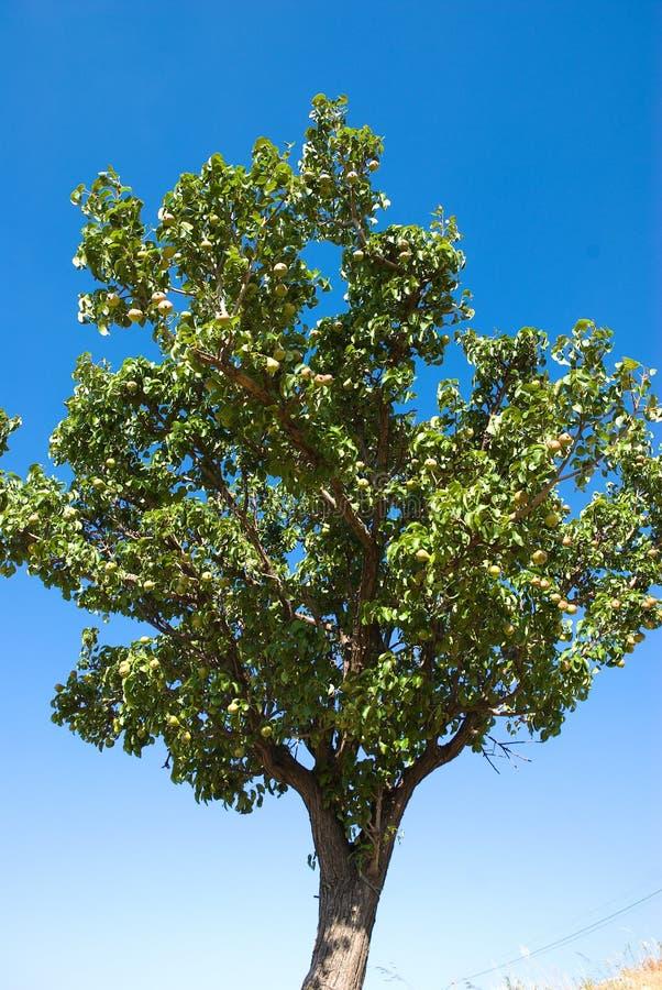 De boom van peren royalty-vrije stock foto