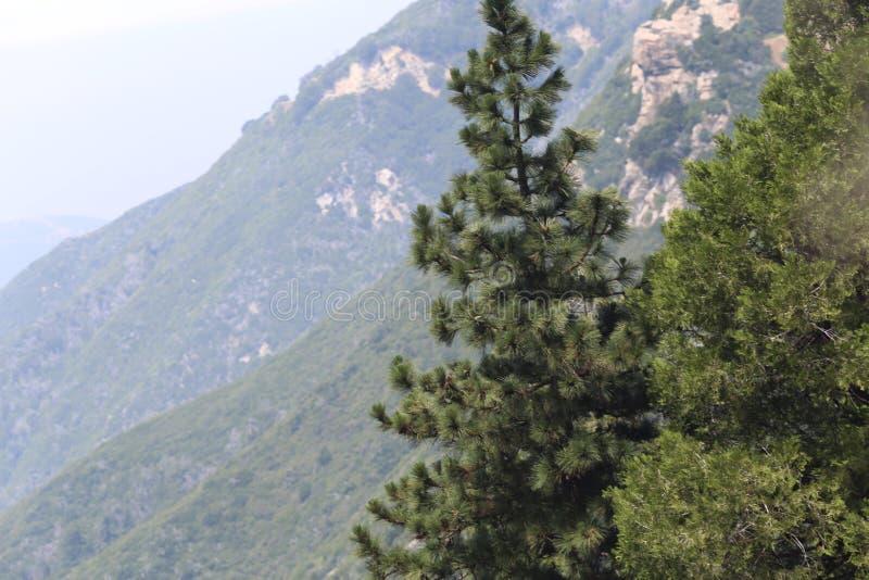 De boom van de pijnboom in de bergen royalty-vrije stock foto's