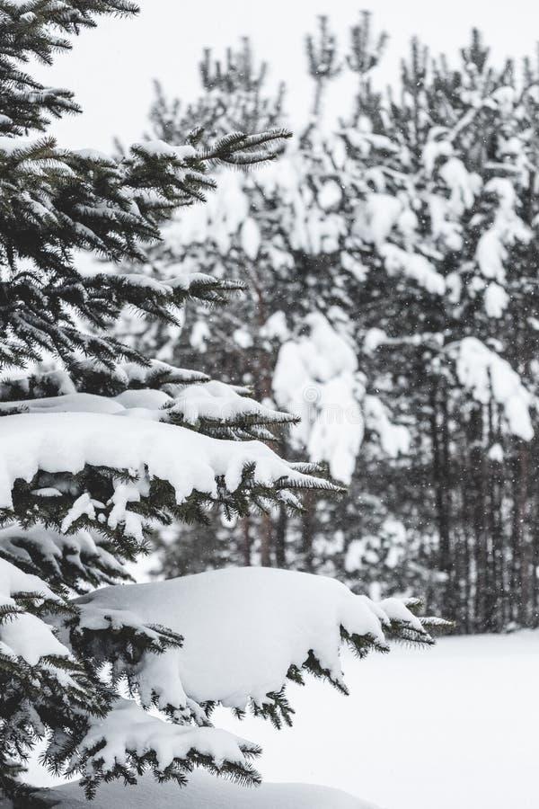 De boom van de pijnboom die met sneeuw wordt behandeld Bevroren boomtak op achtergrond van de de winter de bos Mooie wintertijd stock fotografie