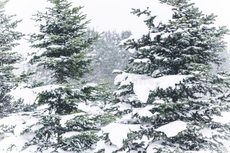 De boom van de pijnboom die met sneeuw wordt behandeld Bevroren boomtak op achtergrond van de de winter de bos Mooie wintertijd royalty-vrije stock afbeeldingen