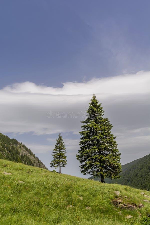 De boom van pijnboombomen op de rand van helling tegen de hemel in Karpatische Bergen stock afbeeldingen