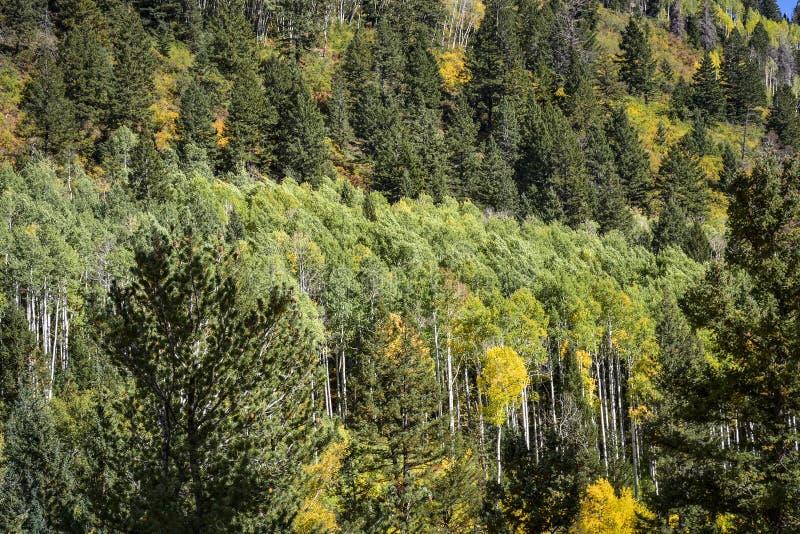 De Boom van de Ponderosapijnboom aan Bergkant met Mooi Aspen Trees in Daling stock foto's