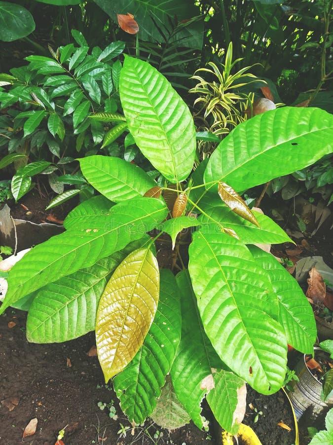 De boom van de Theobromacacao royalty-vrije stock afbeeldingen