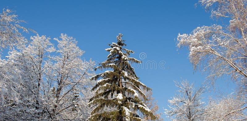 De boom werd behandeld met sneeuw tegen de achtergrond van berken en stock afbeeldingen