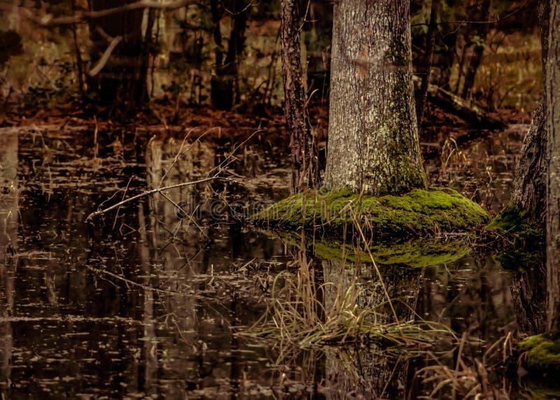 De boombezinning van het moeraswater stock fotografie