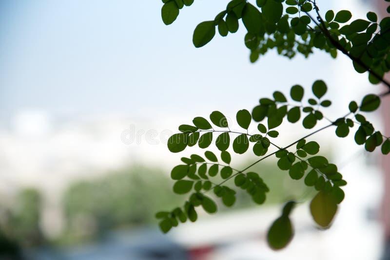 De boombladeren van de close-uptrommelstok, Moringa bladeren met de vage achtergrond van het balkon royalty-vrije stock fotografie