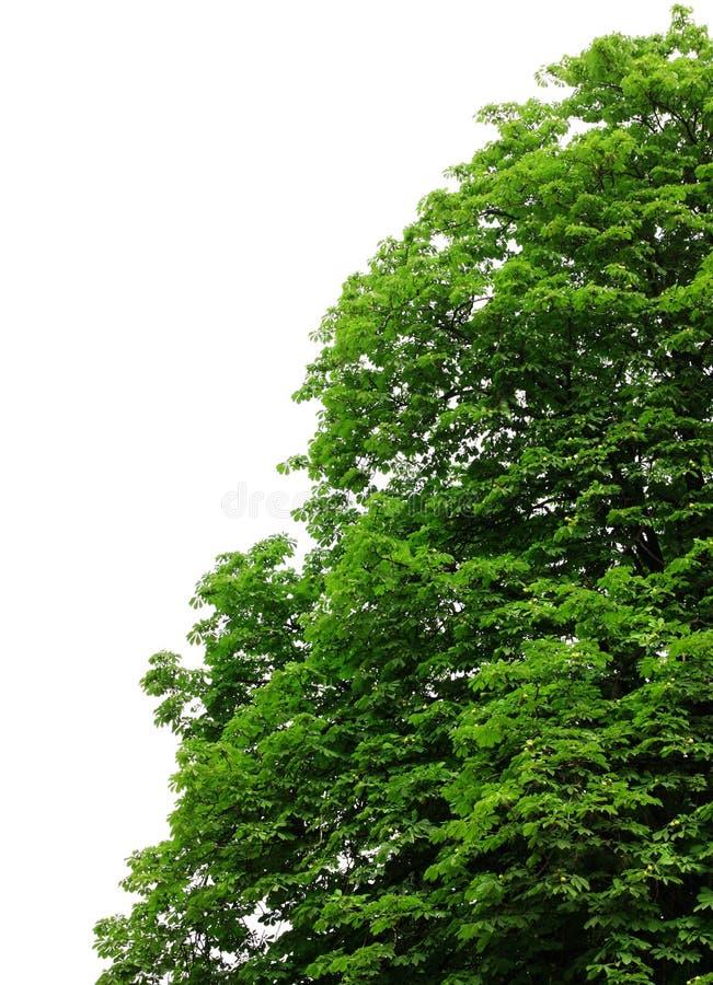 De boombladeren van de kastanje stock fotografie