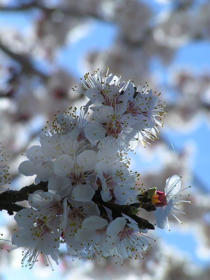 De boombloemen van de amandel stock foto