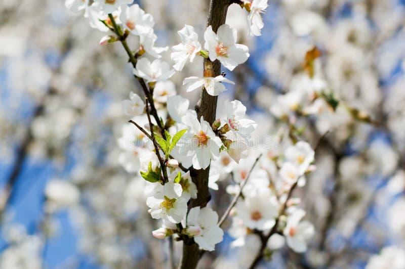 De boombloemen van de amandel stock afbeelding