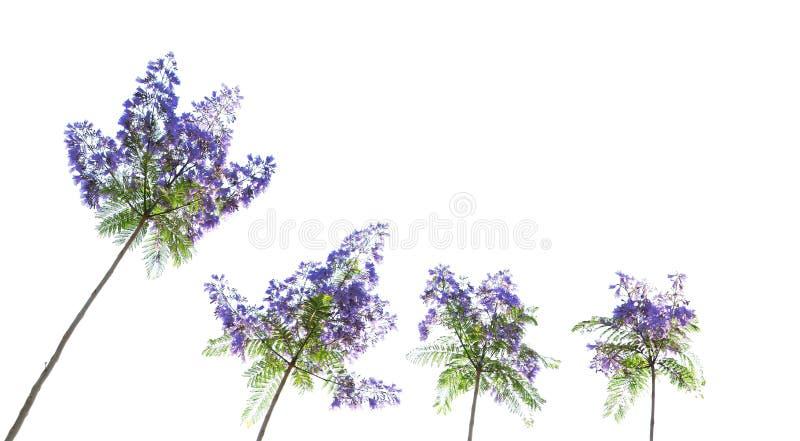 De boombloemen van Jacaranda stock foto