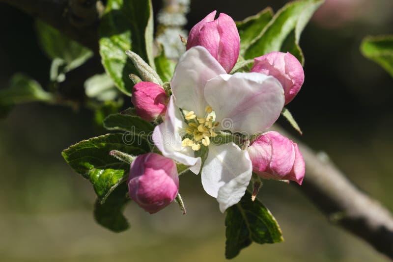 De boombloesem van de appel stock foto's