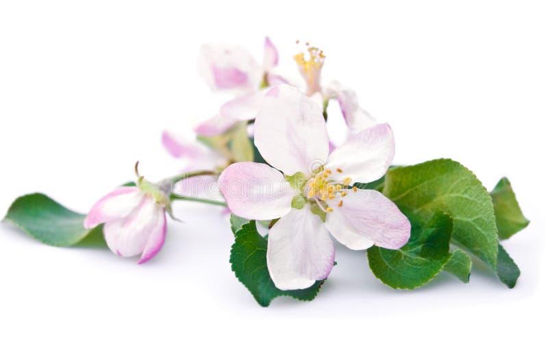 De boombloesem van de appel royalty-vrije stock afbeeldingen