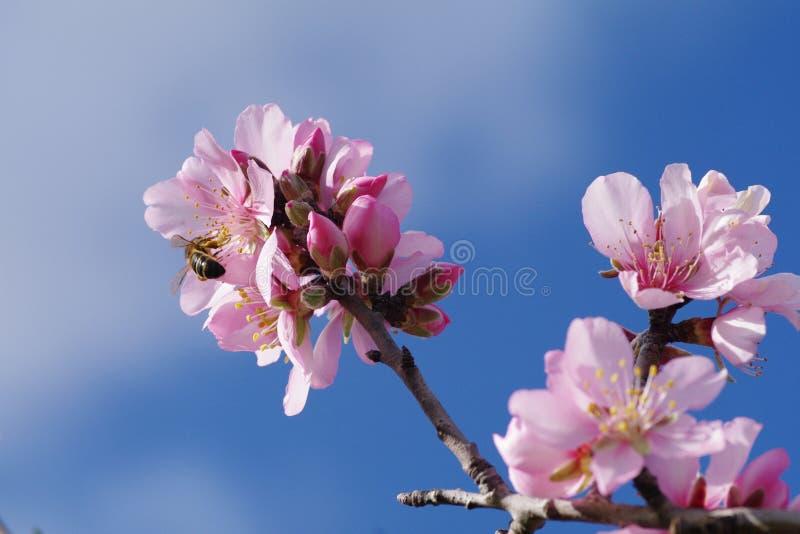 De boombloesems van de amandel stock foto