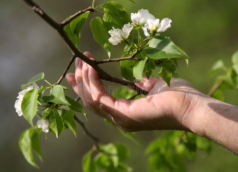 De boombloesems van de appel stock afbeelding