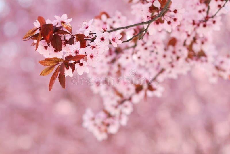 De boombloesems van de Sakurakers royalty-vrije stock foto