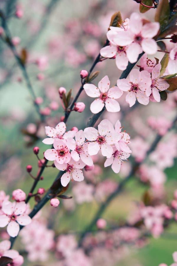 De boombloesems van de Sakurakers in de vroege lente stock fotografie