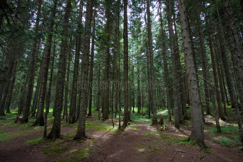 De boombos van de pijnboom stock foto's