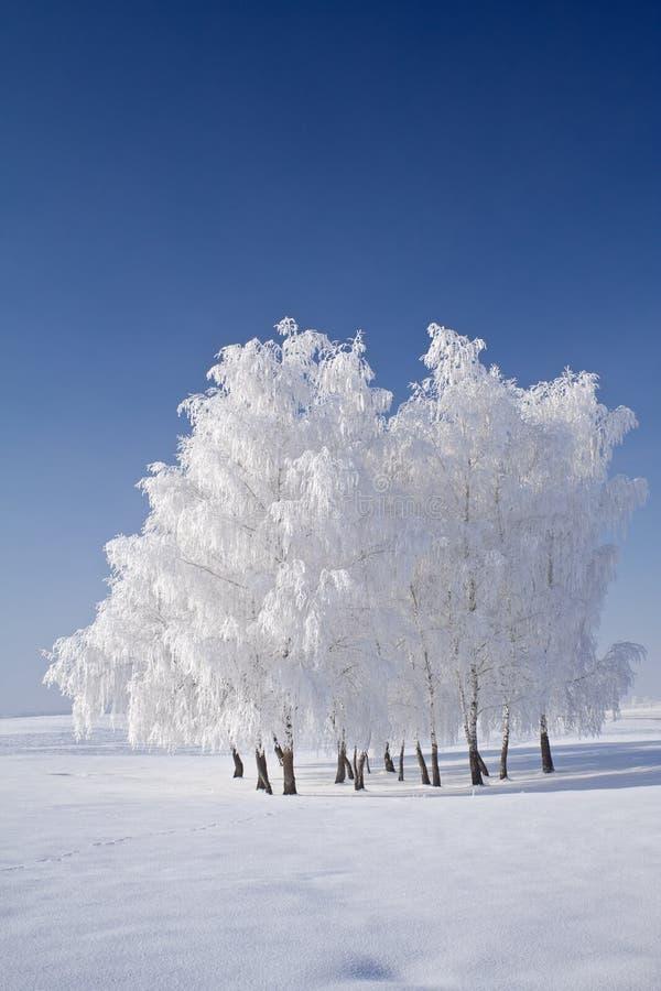De boomcluster van de rijp en blauwe hemelen royalty-vrije stock fotografie