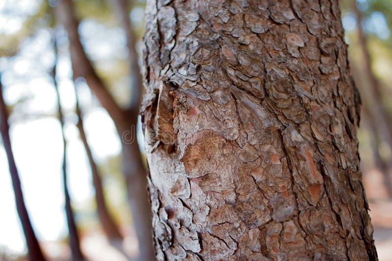 De boomdetail van de pijnboom stock afbeelding