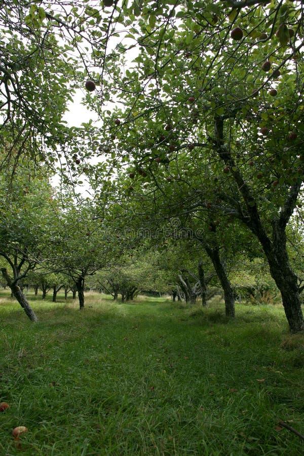 De boomgaard die van de appel neer door een rij van bomen kijkt stock foto