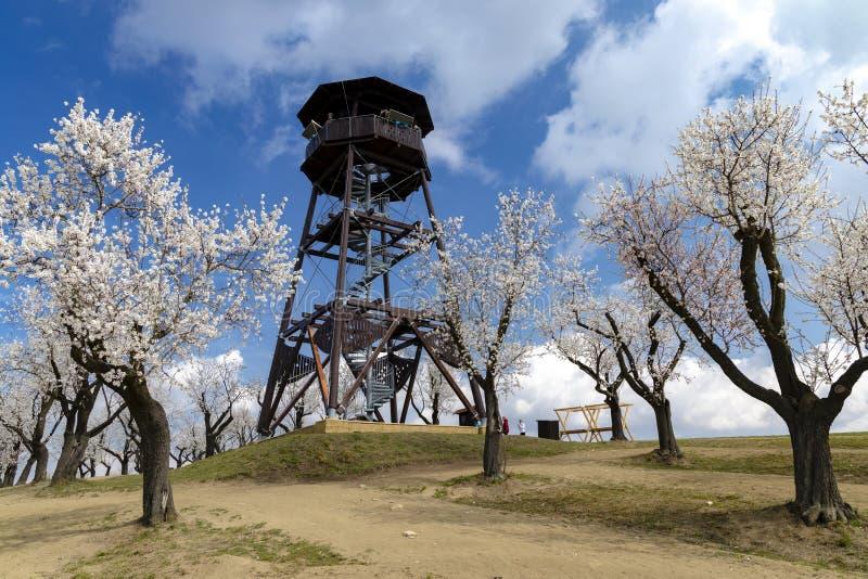 De boomgaard van de amandelboom in Hustopece, Zuid-Moravië, Tsjechische Republiek stock afbeelding