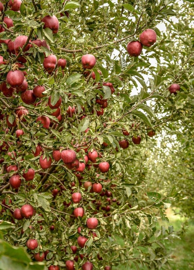 De boomgaard van de appel Organische rode rijpe appelen royalty-vrije stock fotografie