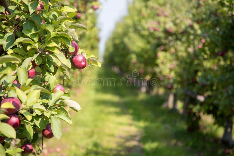 De boomgaard van de appel in de zomer stock foto