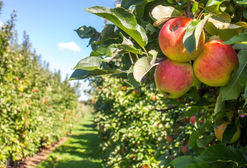 De boomgaard van de appel royalty-vrije stock foto