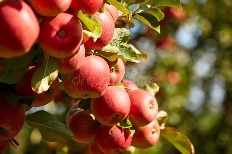 De boomgaard van de appel stock fotografie