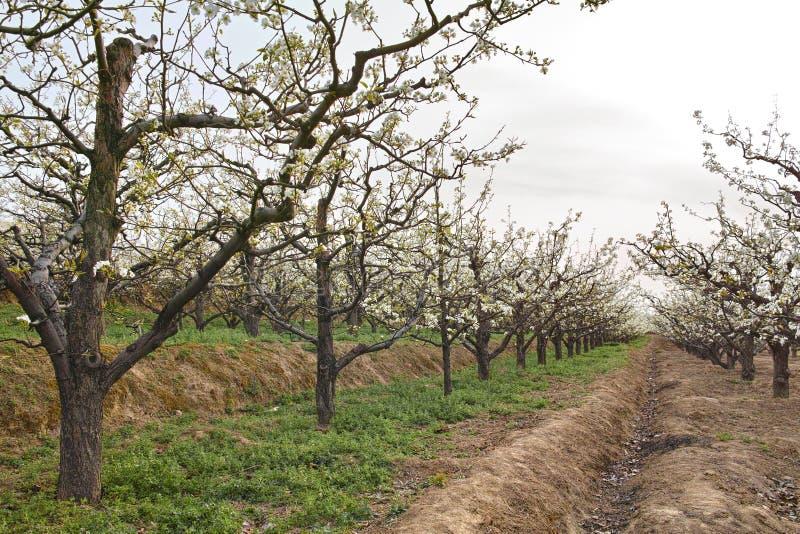 De boomgaard van de de lentepeer royalty-vrije stock fotografie