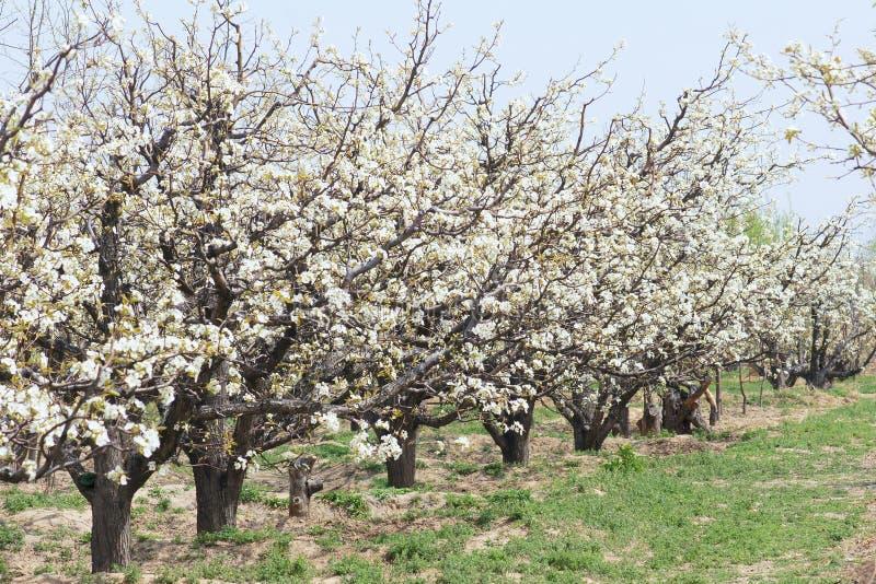 De boomgaard van de de lentepeer stock fotografie