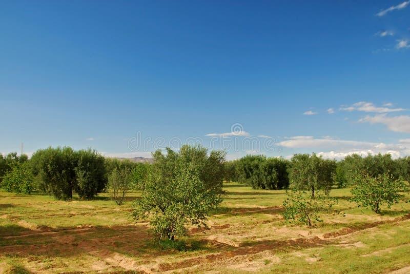 De boomgaard van de olijf in Tunesië royalty-vrije stock afbeelding