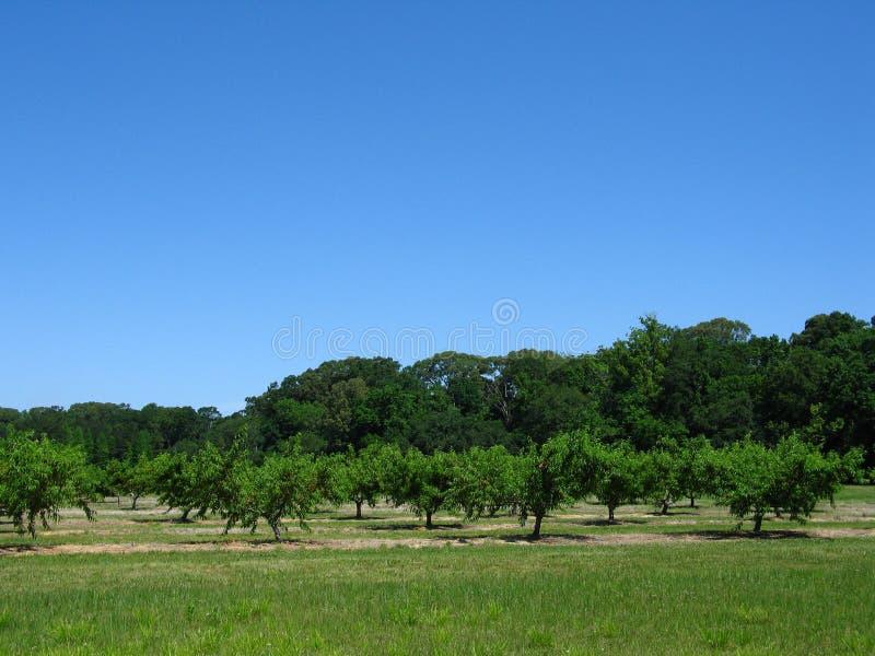De Boomgaard van de perzik stock afbeelding
