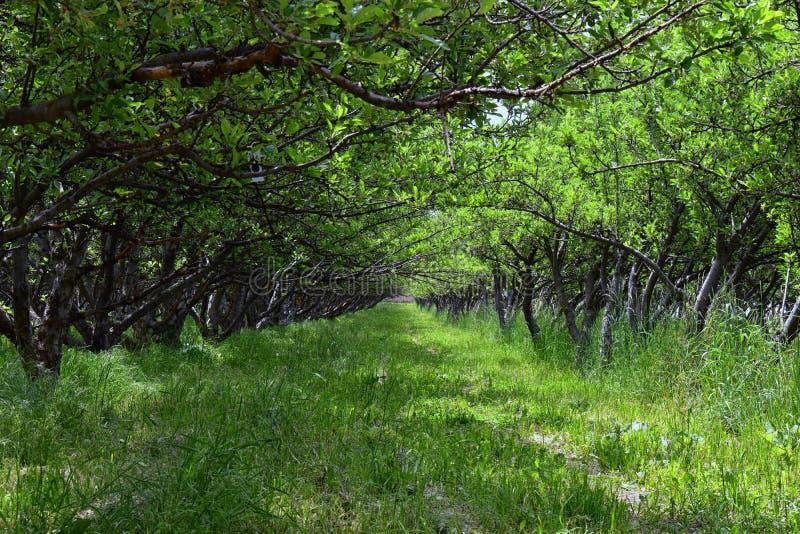 De boomgaard van het fruitbomen van de lenteapple Rij van appelbomen met groen gras en paardebloemen in Utah, de V.S. royalty-vrije stock foto's