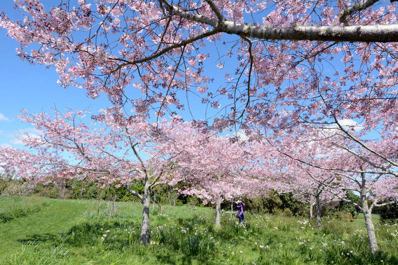 De boomgaard van kersenbomen oblossom royalty-vrije stock fotografie