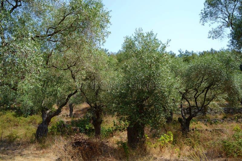 De boomgaard van de olijf stock afbeeldingen