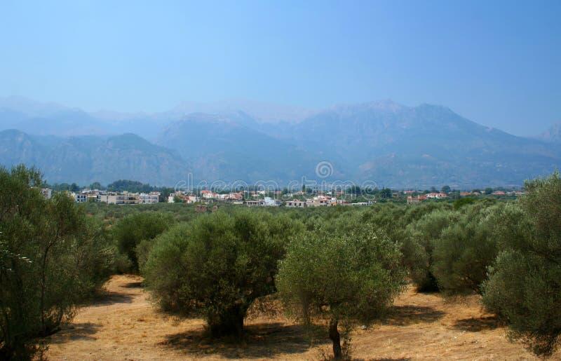 De boomgaard van olijven in Griekenland stock foto's