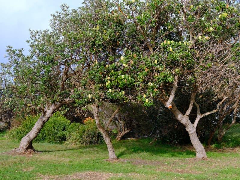 De boomgroei door Sterke Winden, Sydney, Australië wordt vervormd dat royalty-vrije stock fotografie