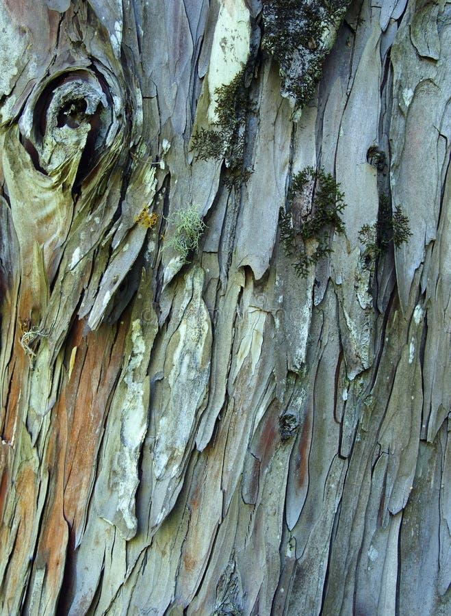 De boomschors van de pijnboom met korstmos, textuur royalty-vrije stock afbeelding