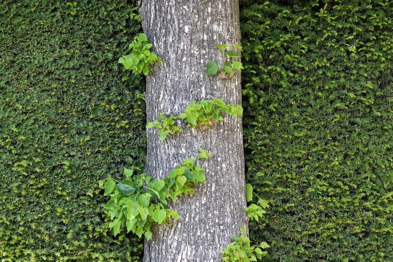 De boomstam van de boom op de achtergrond van weelderige groene sierstruiken voor textuur royalty-vrije stock foto
