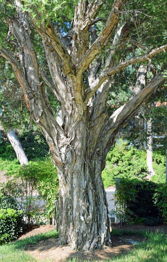 De boomstam van de Melaleucaboom in Laguna Hout, Californië stock foto's