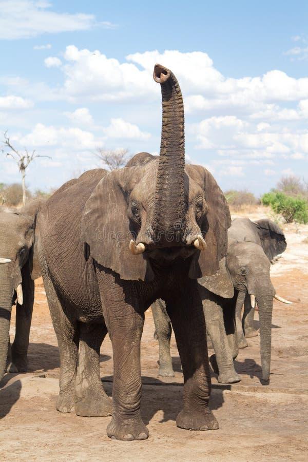 De boomstam van de olifant royalty-vrije stock afbeelding