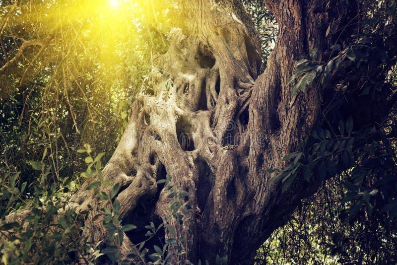 De boomstam van de oude heilige olijfboom royalty-vrije stock foto's