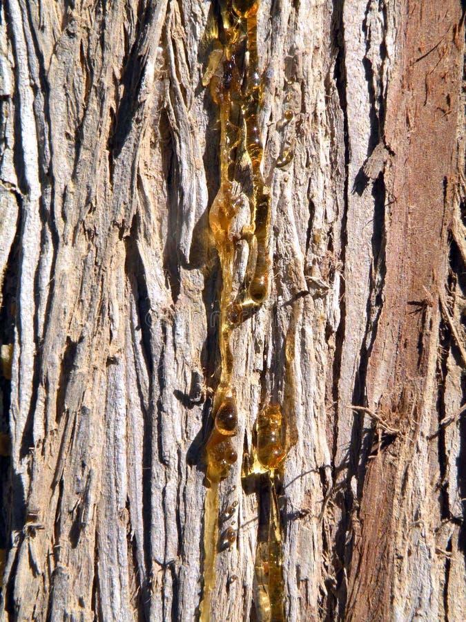 De boomstam van de pijnboom royalty-vrije stock foto's