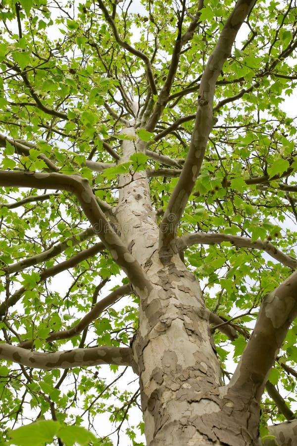 De boomstam van een boom met grote takken royalty-vrije stock foto's