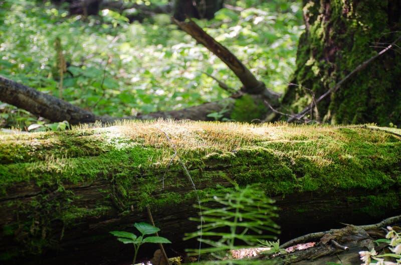 De boomstam van een gevallen die boom met mos in het heldere zonlicht wordt behandeld royalty-vrije stock foto's
