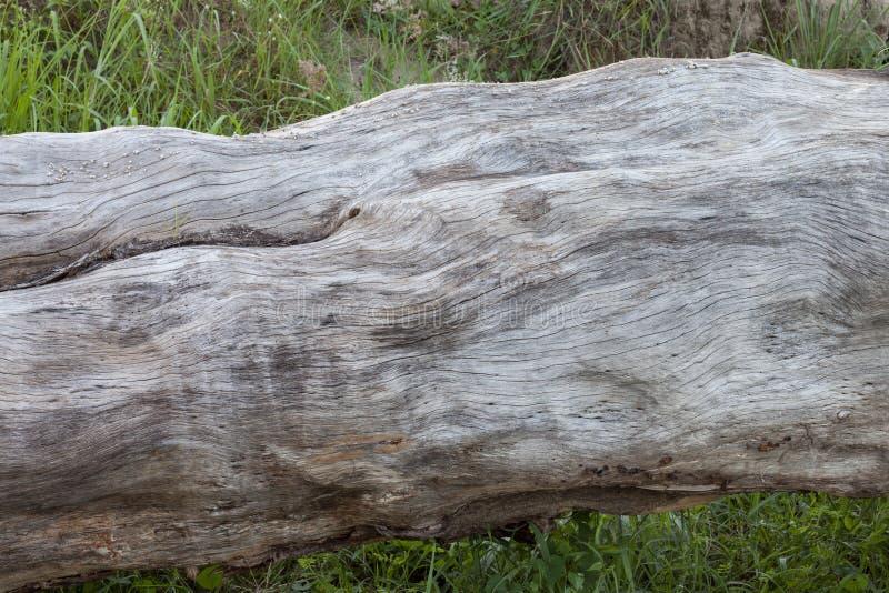 De boomstam van een gevallen oude boom stierf stock foto